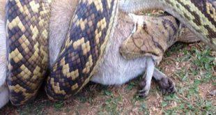 شاهد كيف التهم هذا الثعبان الكنغر