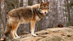 coyote-standing