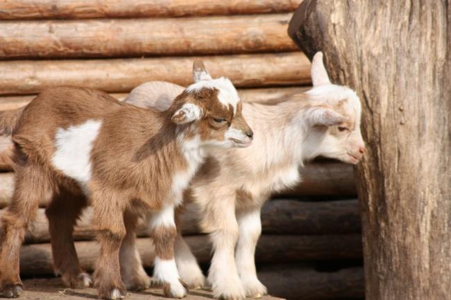 14212660-goats-49172_1920-1493908017-650-c2ac257f94-1494232807